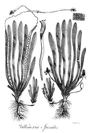 L'histoire d'une histoire: reprise, diffusion et abandon d'une découverte botanique et poétique